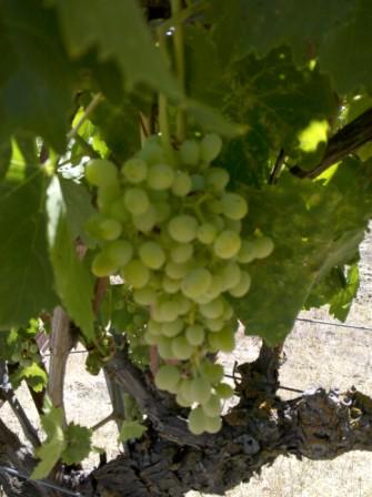 Grapes help prevent skin cancer.
