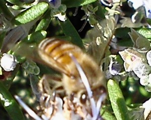 honeybees and pesticides