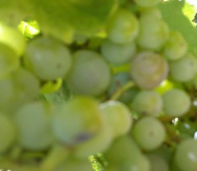 wild grape and cavities