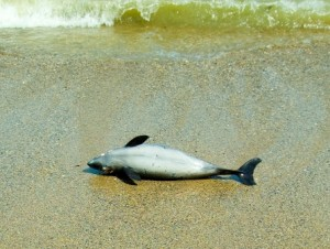 dolphins and beachings