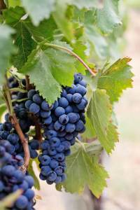 weight loss and resveratrol.