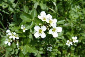 watercress inhibits cancer