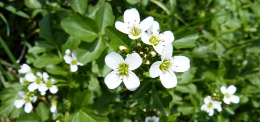watercress inhibits cancer