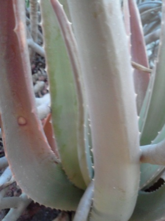 aloe vera for skin conditions