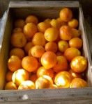 citrus and Huntington's disease