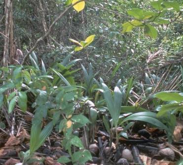 cancer and Australian rainforest herbs