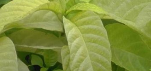 peppermint oil and irritable bowel syndrome