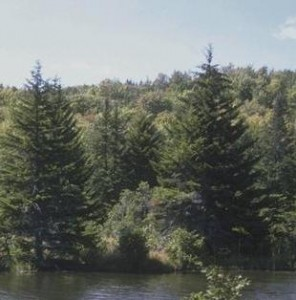 asthma and pine bark
