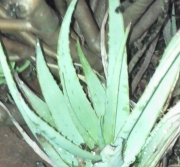 aloe and cancer
