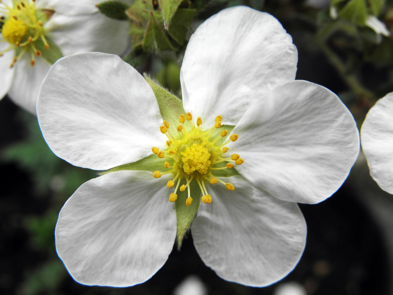 White cinquefoil root: use in traditional medicine 54