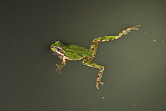 Scientists find that frogs are accumulating pesticides