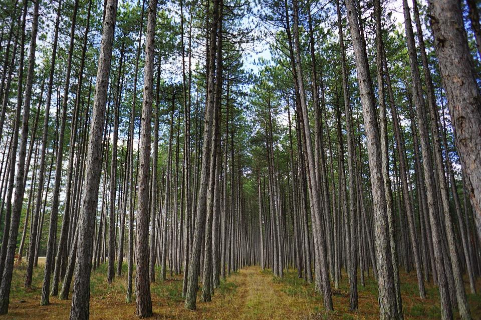 Pine bark helps menopause symptoms.