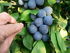 black plum inhibits Klebsiella