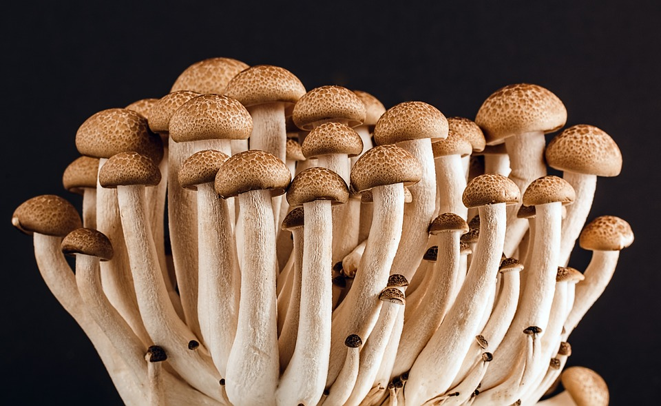 mushrooms that protect the liver