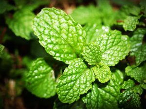 new peppermint oil eases IBS better