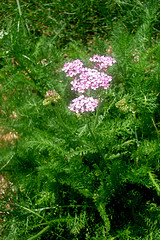 Yarrow Calms, Fights Malaria, Hepatitis and Kidney Conditions