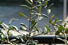 olive leaf type 1 diabetes