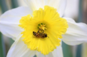 bee colony collapse disorder and hand pollination