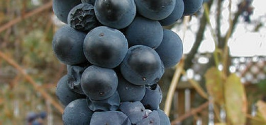 grape seed extract and menopause