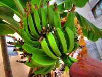 are GMO bananas a good idea?