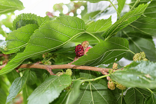 mulberry leaf reduces weight and blood sugar