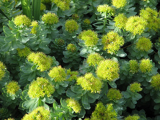 rhodiola rosea treats major depression
