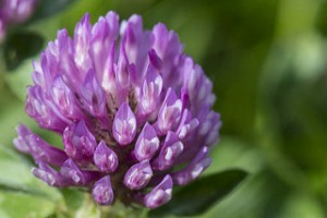 red clover reduces bone loss in menopausal women