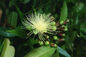 cloves potent anticancer agent against several cancers