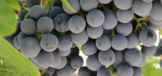purple grapes boost memory