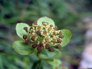 herbal medicine treats drug-indiced Parkinson's and other mental conditions