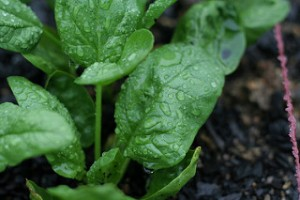 spinach and carotenoids