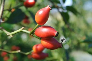 rose hips treat at least 12 diseases