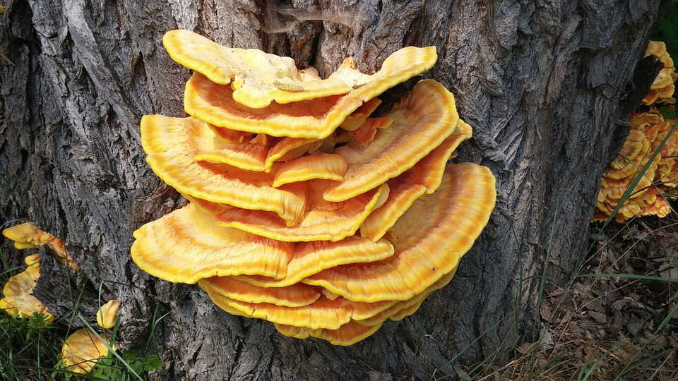 reishi mushroom is anticancer, boosts endurance, boosts longevity and liver health