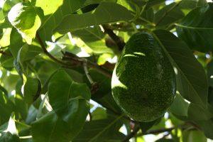 avocado and metabolic syndrome