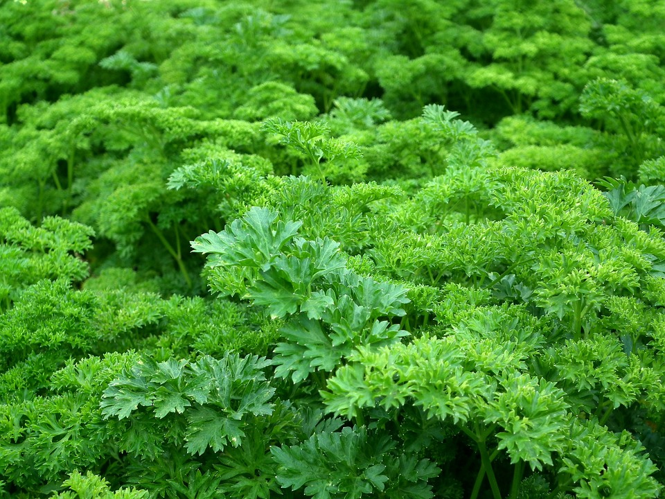 Parsley (Petroselinum crispum) fights cancer reduces inflammation.