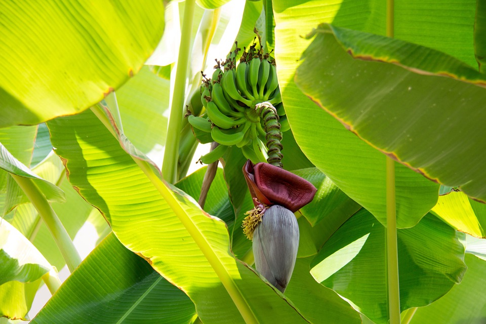 banana leaf and peel proven to heal burns and wounds