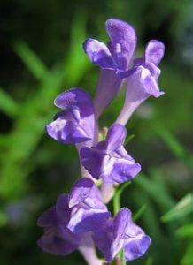 Scutellaria baicalensis Baicalin leaky gut