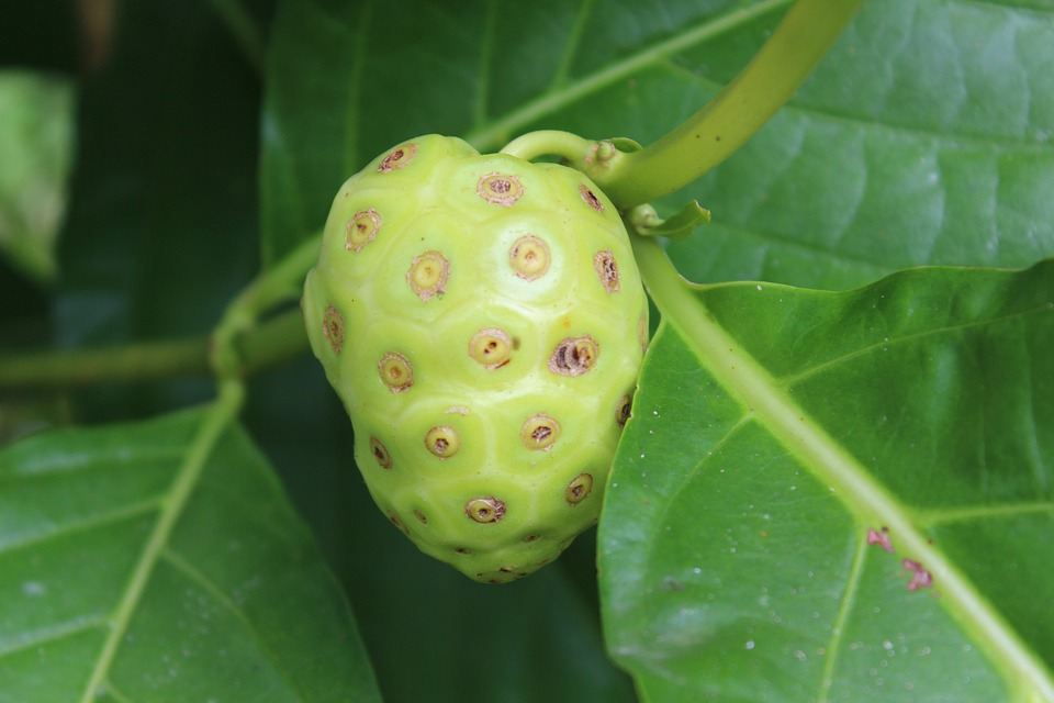 Noni lowers cholesterol inflammation.