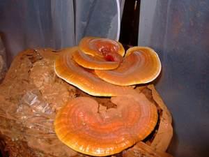 cogumelos HPV câncer &quot;width =&quot; 300 &quot;height =&quot; 225 &quot;/&gt;<figcaption class=